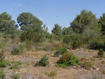 Son Real, Majorca. Son Real, pine woodland, Birdwatching site, Majorca, June 2015 stock images
