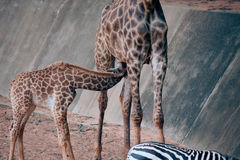 Son suckling from his Mom`s is Specie Giraffa camelopardalis family. Son suckling from his Mom`s is Specie Giraffa camelopardalis family of Giraffidae Royalty Free Stock Photography