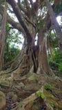 Son Tra Peninsula' s-Banyanträd Arkivfoton