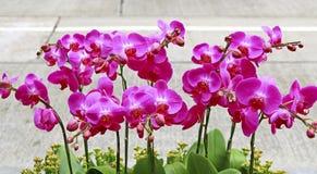 Sonat av rosa orkidér Royaltyfri Foto