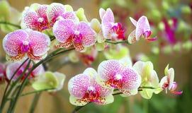 Sonata av vibrerande orchids royaltyfri bild