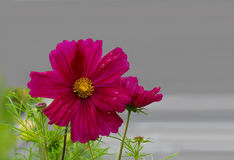 Sonata Bipinnatus Flower. Sonata Cosmos Bipinnatus Flower over gray background royalty free stock images