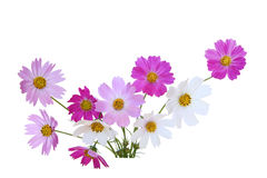Sonata Cosmos Flower. S isolated on white Royalty Free Stock Photo