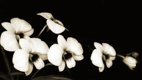 Sonata das orquídeas Imagem de Stock