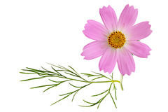 Sonata Pink Cosmos. Single fresh sonata pink Cosmos flower and leaf isolated on white Royalty Free Stock Photography