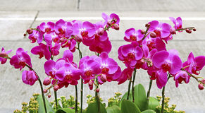 Sonata of pink orchids Royalty Free Stock Photo