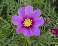 Sonata series Cosmos Bipinnatus. Pictured is a closeup view of a purple bloom of Cosmos bipinnatus, commonly called the garden cosmos or Mexican aster, is a Royalty Free Stock Photography