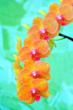 Sonata of orchids. Sonata of vivid and beautiful orchids with colorful background Stock Photos