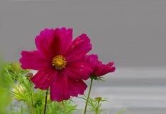 SonatBipinnatus blomma royaltyfria bilder
