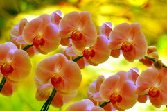 Sonate der Orchideen Stockbilder