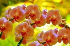 Sonate van orchideeën Stock Afbeeldingen