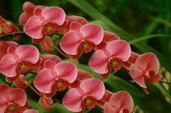 Sonate van Orchideeën stock afbeelding