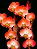 Sonate van Orchideeën Stock Foto's