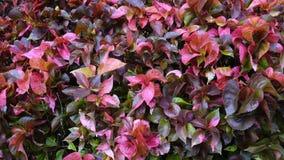Sonchifolia de Emilia u hoja de cobre pintada en jardín metrajes