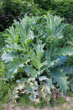 Sonchus arvensis with great green leaves. Big bush of Sonchus arvensis with great green leaves Stock Photo
