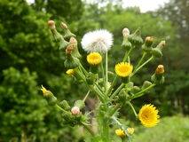 Sonchus asper Royalty Free Stock Photography