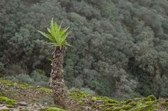 Sonchus congestus. Los Marteles Special Natural Reserve. Valsequillo. Gran Canaria. Canary Islands. Spain Royalty Free Stock Images