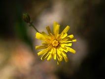 Sonchus de la flor imagenes de archivo