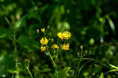 Sow-thistle. Field flower. The Sonchus flower growing on a summer meadow stock photography