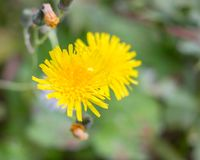 Sonchus Oleraceus, flower of common cerraja in the first plane with green stems of bottom. Blurred background royalty free stock photography