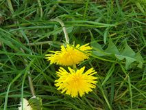 Sonchus oleraceus L Dandelion, flower.Blooming. Dandelion, spring flower. Blooming in spring. A flower with two faces. Common plant everyday Stock Photography
