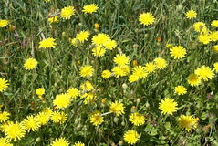 Sonchus oleraceus. Plant in the dandelion tribe within the daisy family Stock Photography