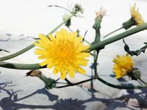 Sonchus Oleraceus. Flower of common cerraja in the first plane with green stems of bottom stock image