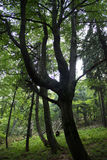 Sonderbar-förmiger Baum im Wald Stockfoto