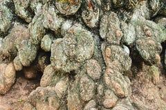 Sonderbare knotige, geknotete Barke des alten Baums Lizenzfreie Stockbilder