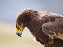 Sonderkommando des Kopfes des Steppenadlers - Aquila-nipalensis Stockfoto