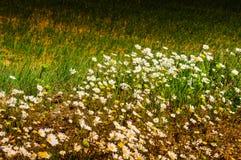 Sonderkommando von Daisy Field In ein Tag des Frühlinges Lizenzfreie Stockfotografie