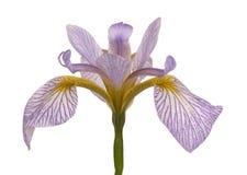 Sondern Sie Blume einer blauen und weißen Blende aus Lizenzfreie Stockfotografie