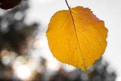 Sondern Sie das gelb-orangee Herbstaprikosenblatt aus, das nach rechts, gegen bokeh unscharfen Hintergrund, das gesunde biologisc lizenzfreie stockfotografie