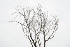 Sondern Sie den alten und toten Baum aus, der auf weißem Hintergrund lokalisiert wird Lizenzfreie Stockbilder