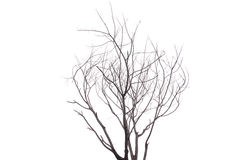 Sondern Sie den alten und toten Baum aus, der auf weißem Hintergrund lokalisiert wird Stockfotos