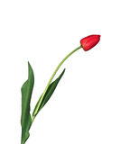 Sondern Sie die eingesäumte rote lokalisierte Tulpe aus Lizenzfreie Stockfotografie