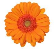 Sondern Sie die orange Gerberablume aus, die auf weißem Hintergrund lokalisiert wird Lizenzfreie Stockfotografie
