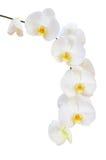 Sondern Sie empfindliche Niederlassung von weißen natürlichen Orchideenblumen aus Stockbild