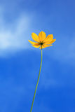 Sondern Sie gelbe Blume mit freiem Hintergrund des blauen Himmels aus Lizenzfreies Stockfoto