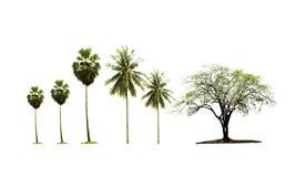 Sondern Sie indischen Jujubebaum und Palmenzuckerbaum und den Kokosnussbaum, der in der Landschaft heranwächst, die auf weißem Hi lizenzfreie stockfotografie