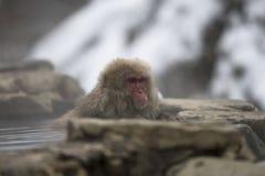Sondern Sie japanische Makaken- oder Schneeaffen, Macaca fuscata aus und auf Felsen der heißer Quelle lehnen, das rote Gesicht, d Lizenzfreies Stockbild