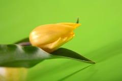 Sondern Sie, Ostern-gelbe Tulpe auf grünem Hintergrund aus Lizenzfreies Stockfoto