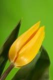 Sondern Sie, Ostern-gelbe Tulpe auf grünem Hintergrund aus Stockfoto