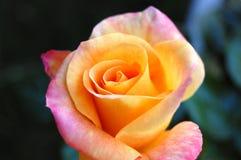 Sondern Sie Rosafarbenes aus Stockfoto