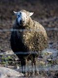 Sondern Sie schlammige Schafe aus stockfoto
