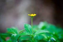 Sondern Sie von der kleinen gelben Blume aus Stockbilder