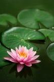 Sondern Sie Waterlily aus. Stockbilder
