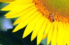 Słonecznik i pszczoła Zdjęcia Royalty Free