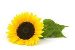 Słonecznik na białym tle Zdjęcia Stock