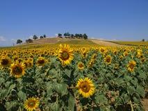 słonecznik pola Obraz Royalty Free